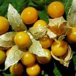 زراعة الحرنكش و العناية به في الاراضي الجديدة
