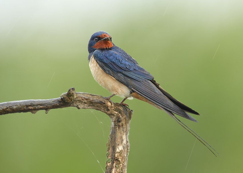معلومات عن طائر خطاف المخازن Barn-swallow-can-survive-up-to-11-years-in-the-wild-but-they-rarely-live-more-than-4-years.