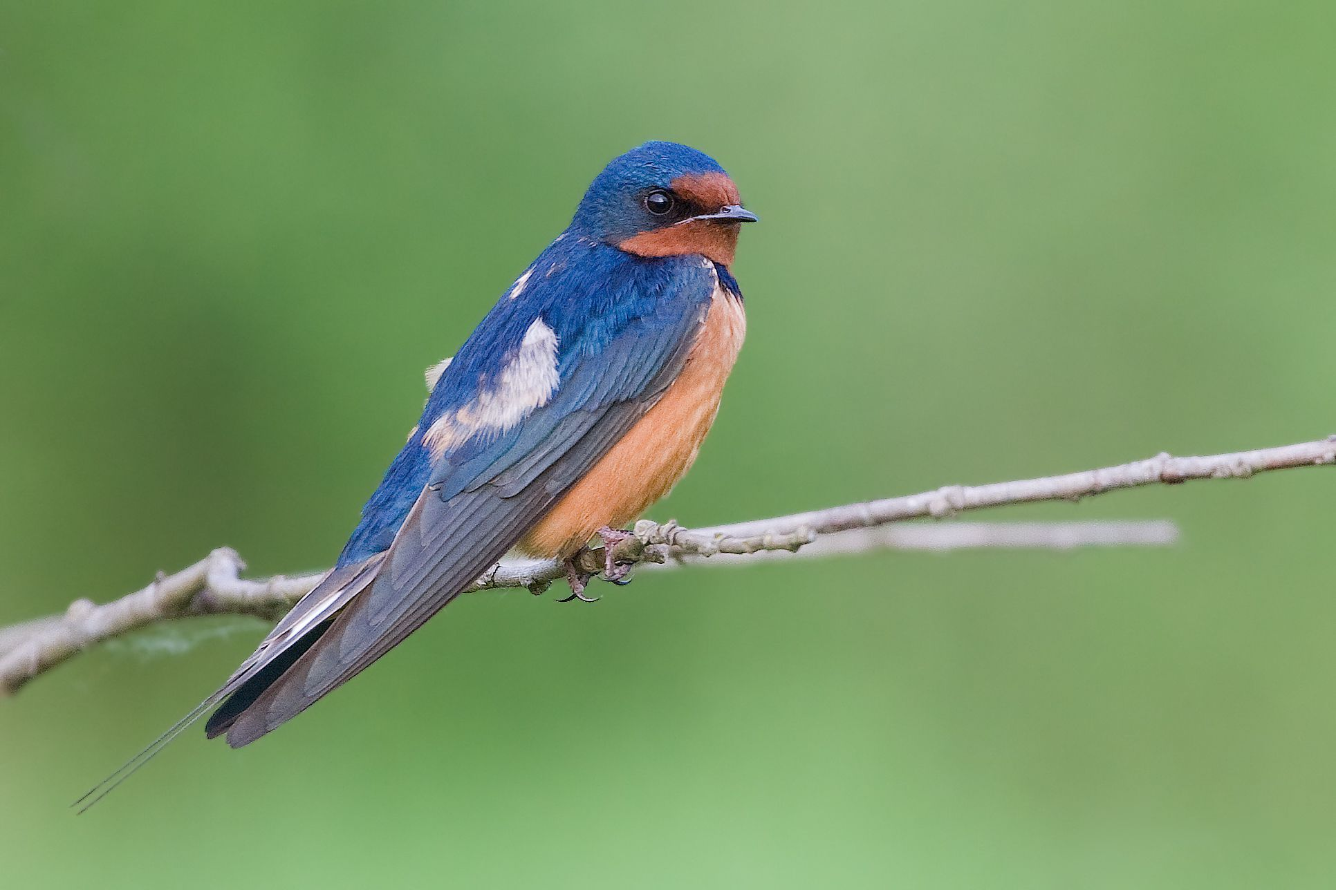 معلومات عن طائر خطاف المخازن Barn-swallow-migrates-to-the-south-during-the-winter-to-avoid-low-temperatures-and-lack-of-food.