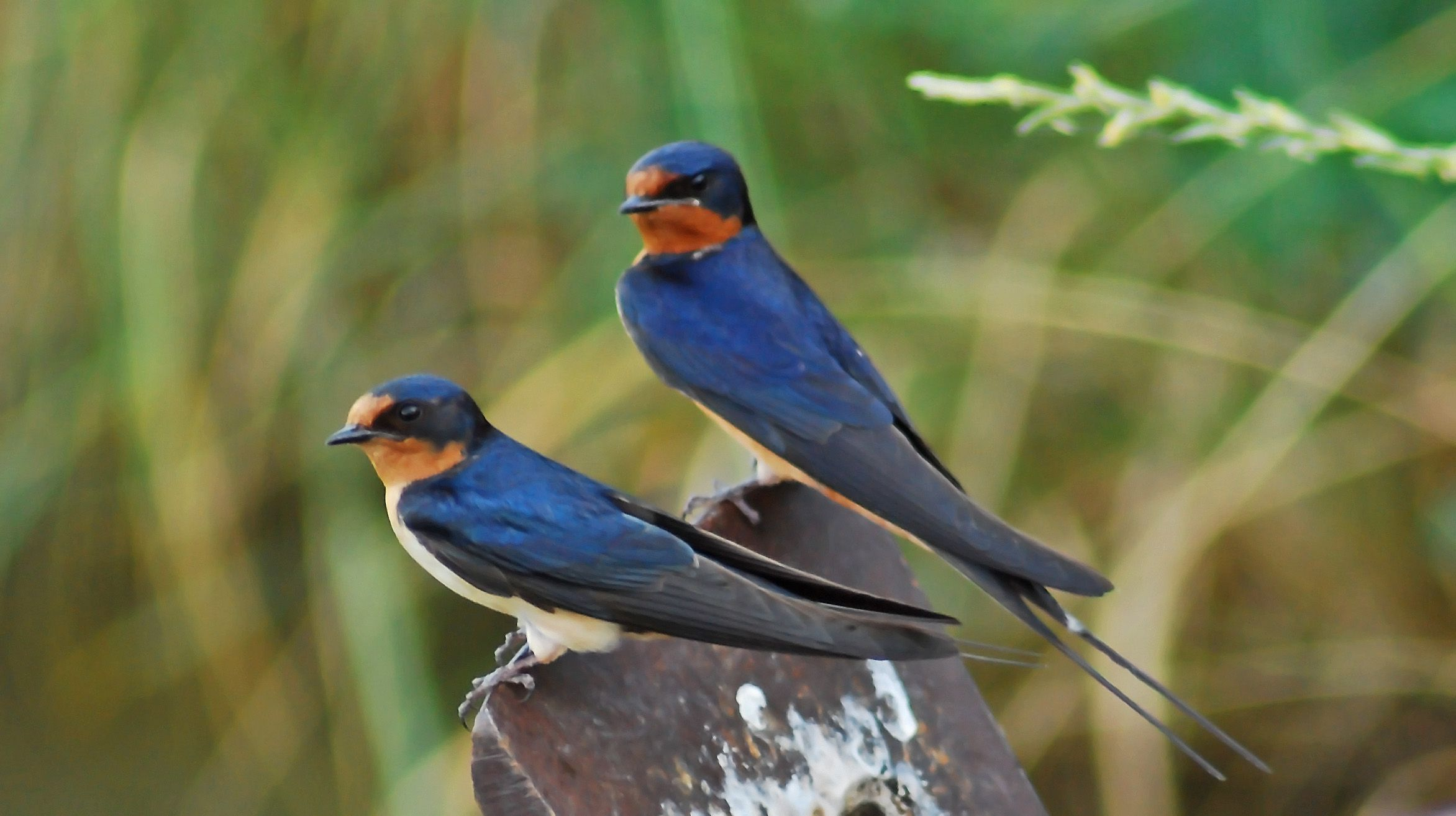 معلومات عن طائر خطاف المخازن Barn-swallows-from-the-first-brood-and-even-unrelated-birds-often-help-in-rearing-of-the-hatchlings.-Chicks-are-ready-to-leave-the-nest-15-to-27-days-after-hatching.