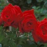 كيف تعيد زراعة الورد في حديقتك