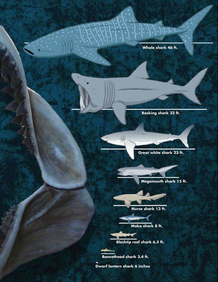 Dwarf lantern sharks size