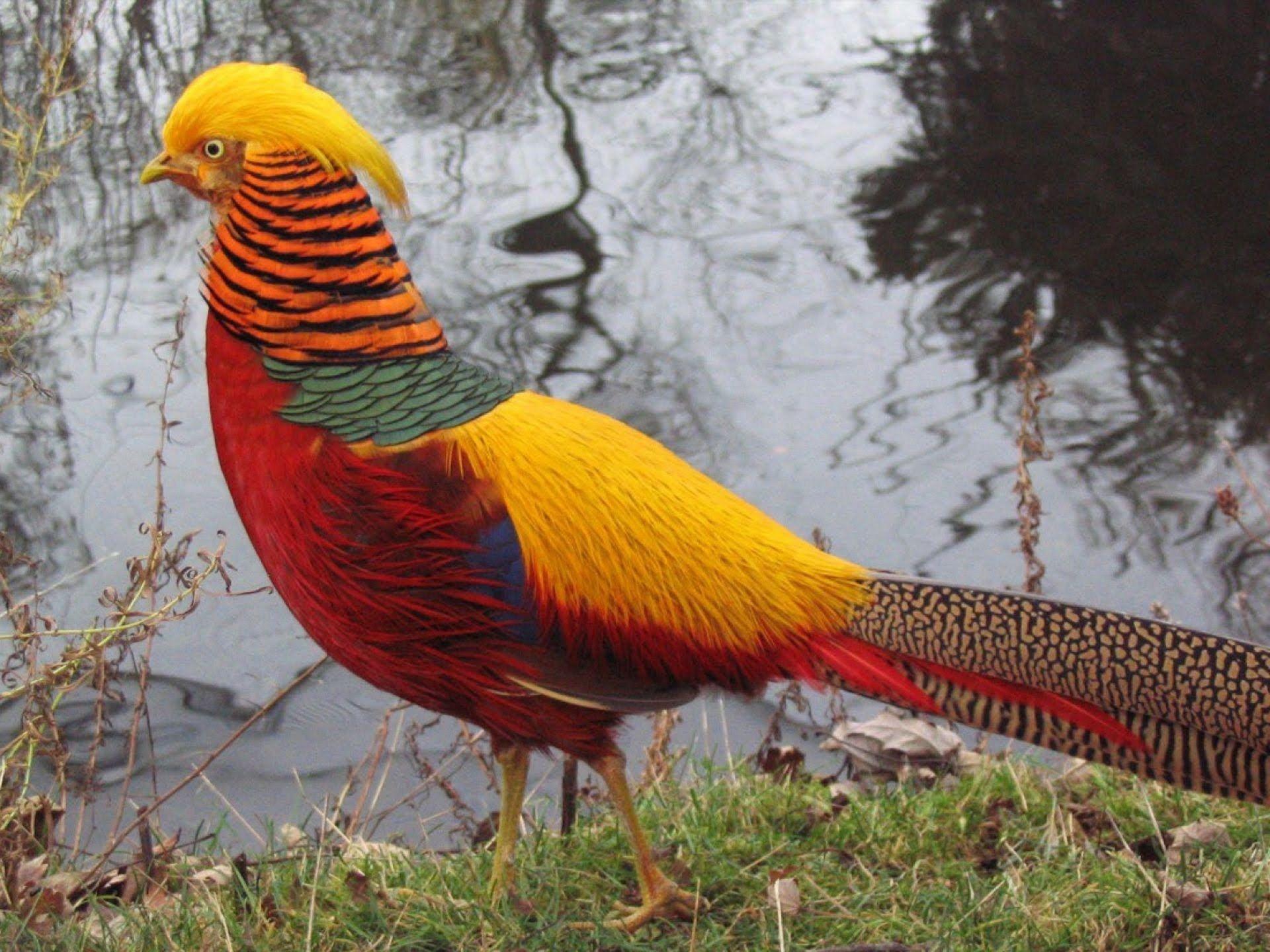 Pheasants age