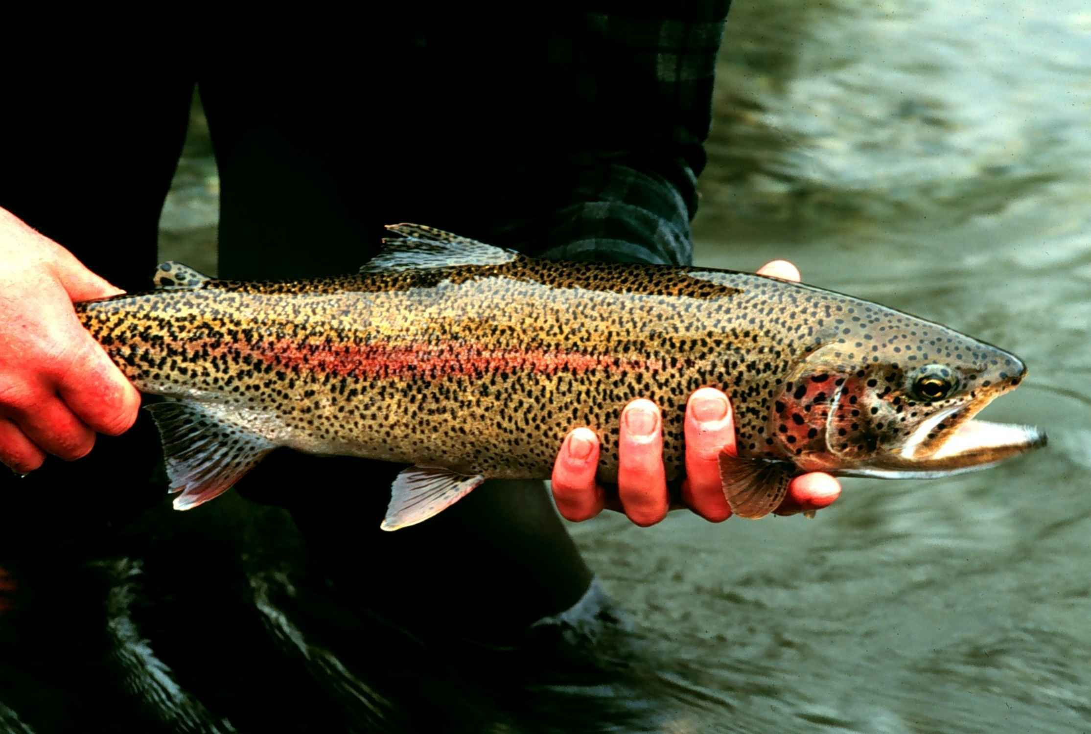 Rainbow trout are popular game fish