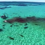 """70 سمكة قرش تفترس حوت في سواحل استراليا """" فيديو"""""""