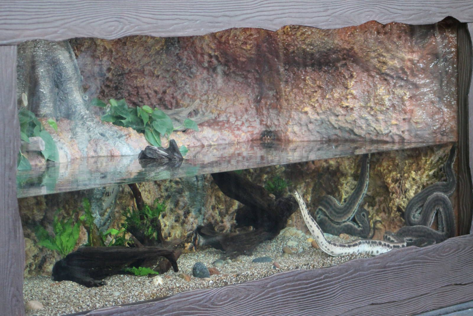 Elephant trunk snake can reach 7.8 feet in length