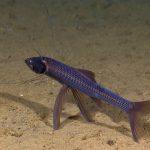 معلومات عن سمك التريبود