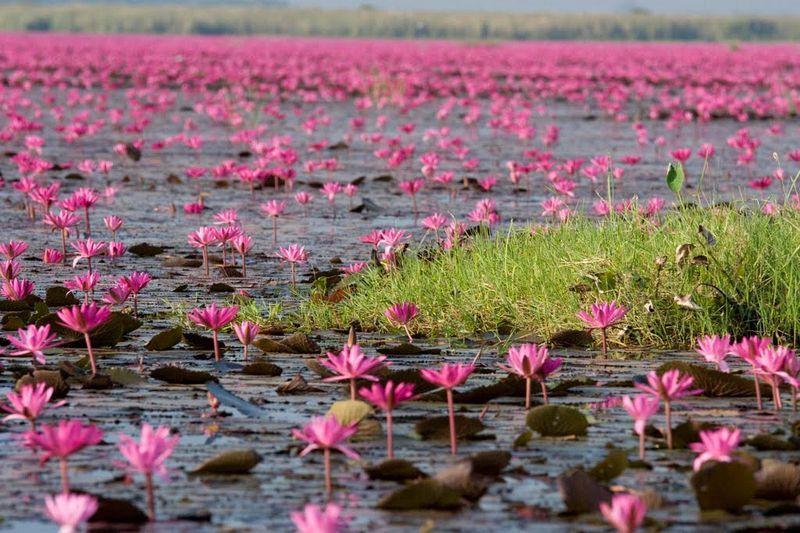 Kumphawapi Thailand  City pictures : Red Lotus Lake Kumphawapi Thailand