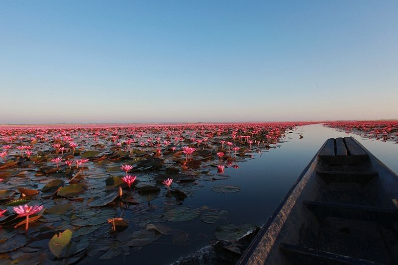 Red Lotus Flowers