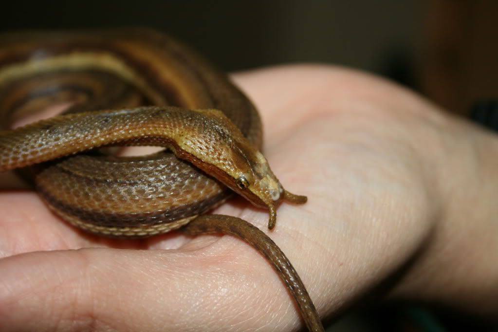 الأفعى ذات المجسين (The tentacled snake or tentacle snake)
