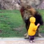 شاهد لوح زجاجي ينقذ طفل من هجوم أسد