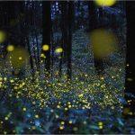 غابة اليراعات المضيئة الساحرة في اليابان