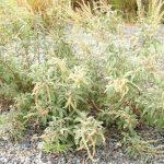 صليخة ،و السمر نباتات عمانية لتسهيل الولادة و علاج مغص الرضع