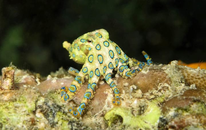 5. Blue Ringed Octopus
