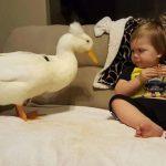 فيديو : صداقة بين طفل و بطة