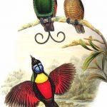 طائر الجنة ويلسون