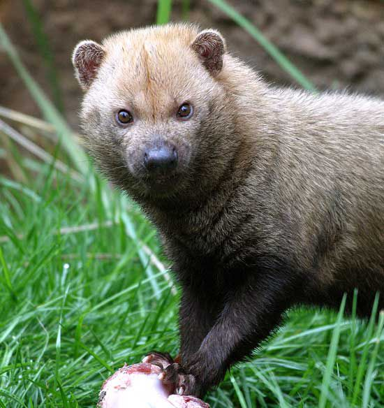 Bush dog produces high-pitched cries