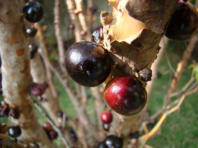 فواكه تشاهدها قبل* The-jabuticaba-fruit-is-unusual-in-that-it-appears-to-blossom-right-out-of-the-bark-and-trunk-of-its-tree.jpg