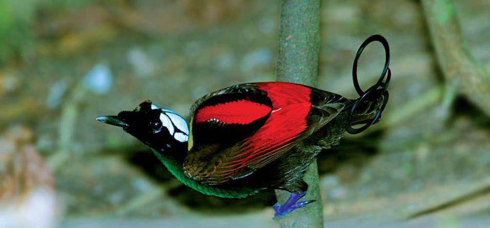 طائر الجنة ويلسون Wilsons-bird-of-paradise-is-small-exotic-birds-that-can-be-found-only-on-Waigeo-and-Batanta-islands-in-Indonesia.