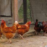 ماذا يسمى صوت الدجاجة