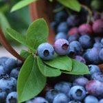 التفاح والتوت الأزرق يخفضان خطر الإصابة بالسكري