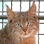 معلومات عن القط الجبلي الصيني