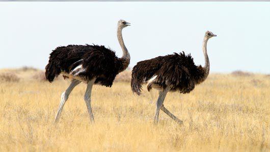 حيوانات المرسال Adult-ostrich-has-ex