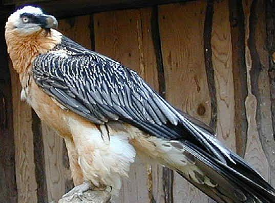 حيوانات المرسال Bearded-Vulture-is-a