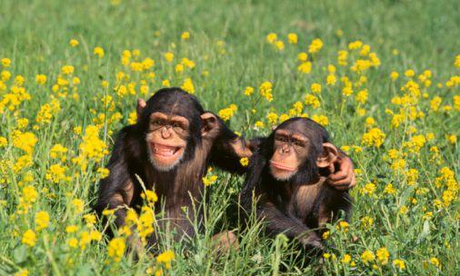 حيوانات المرسال Chimpanzees.jpg