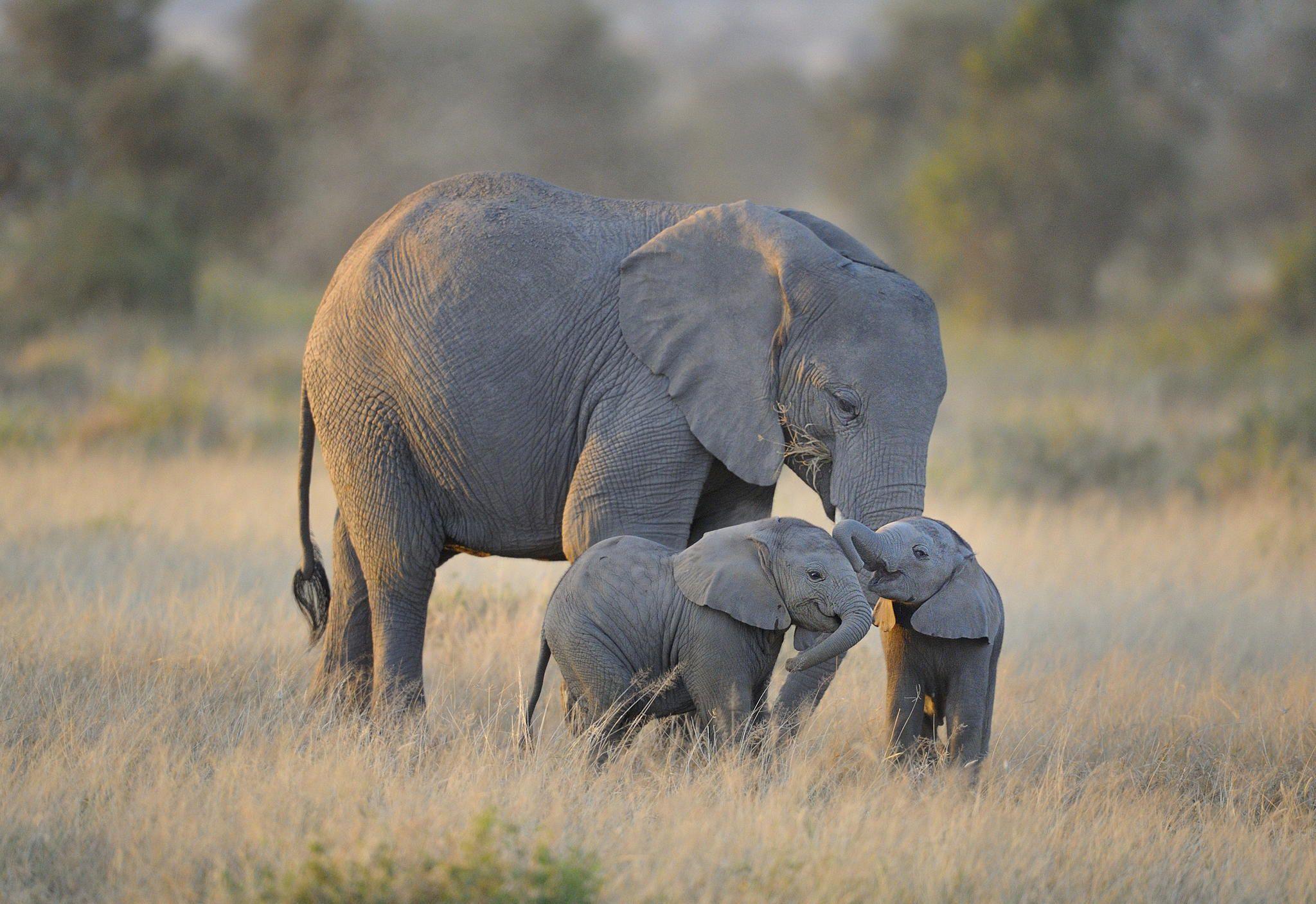 حيوانات المرسال Elephants.jpg