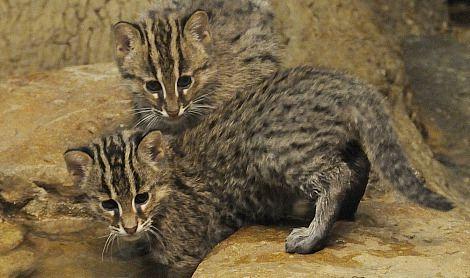 حيوانات المرسال Fishing-cat-is-stron