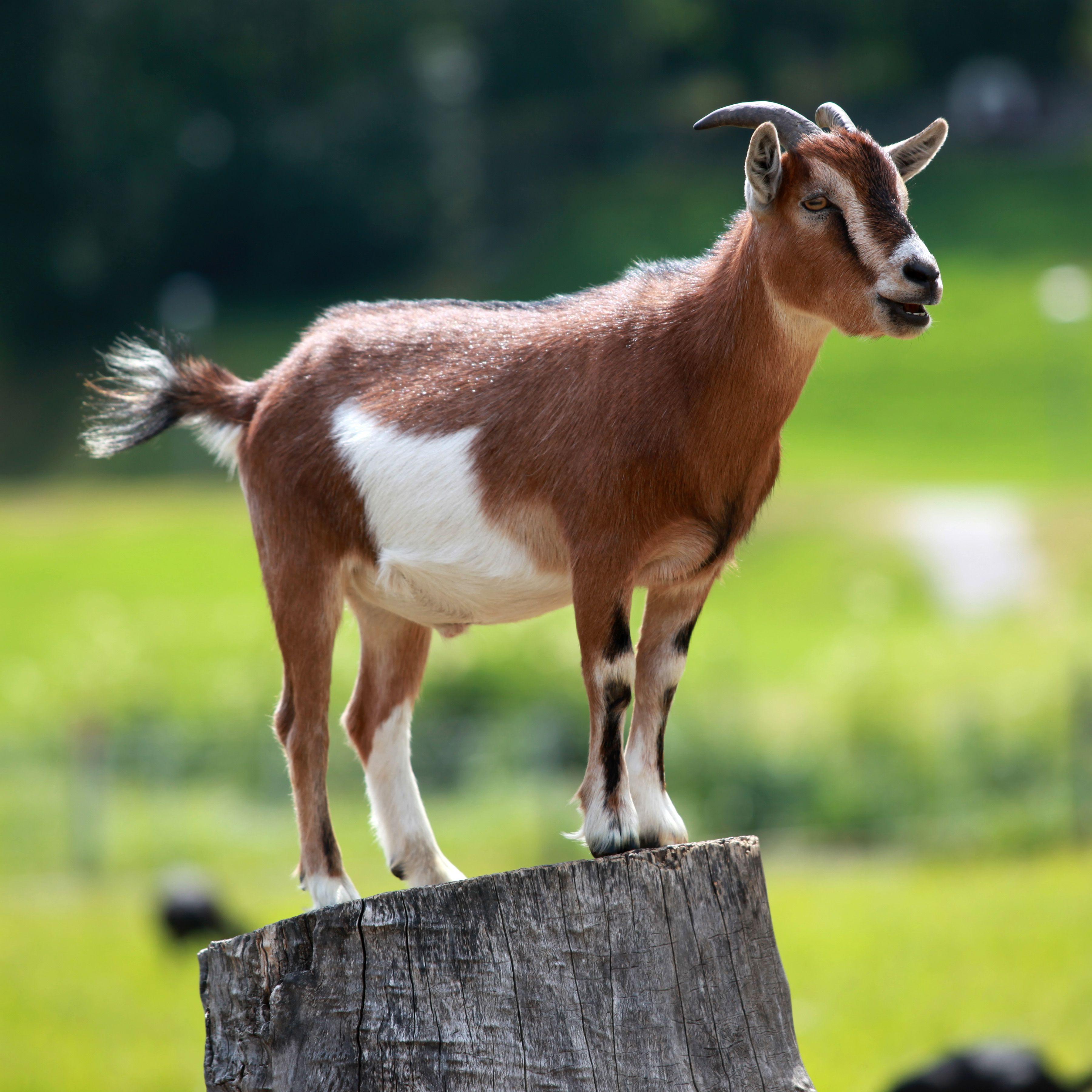 العنزة Goat-has-triangular-