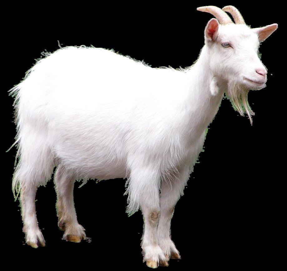 العنزة Goat-is-social-anima