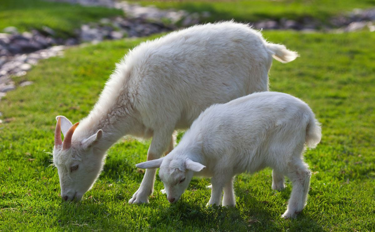 العنزة Goats-are-often-used