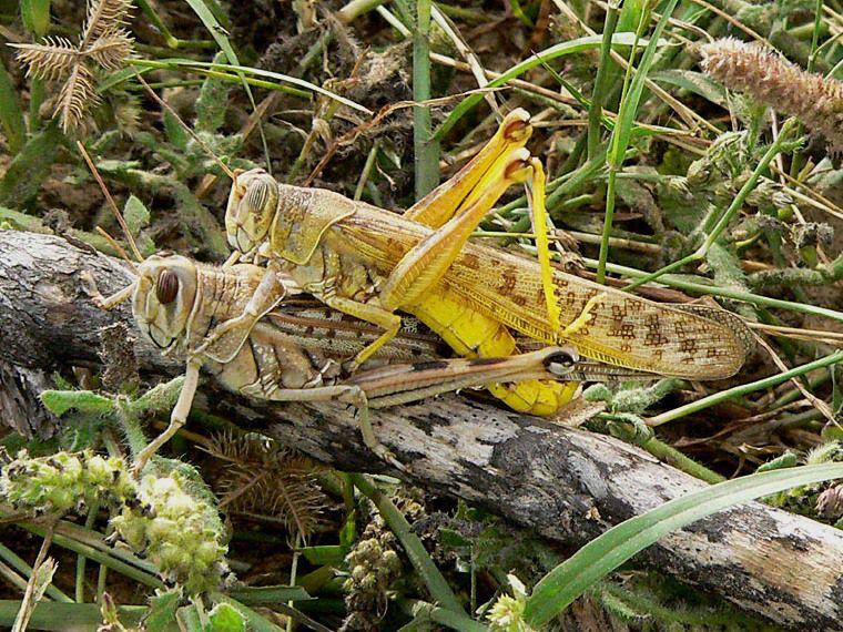 حيوانات المرسال Honey-locust-blooms-