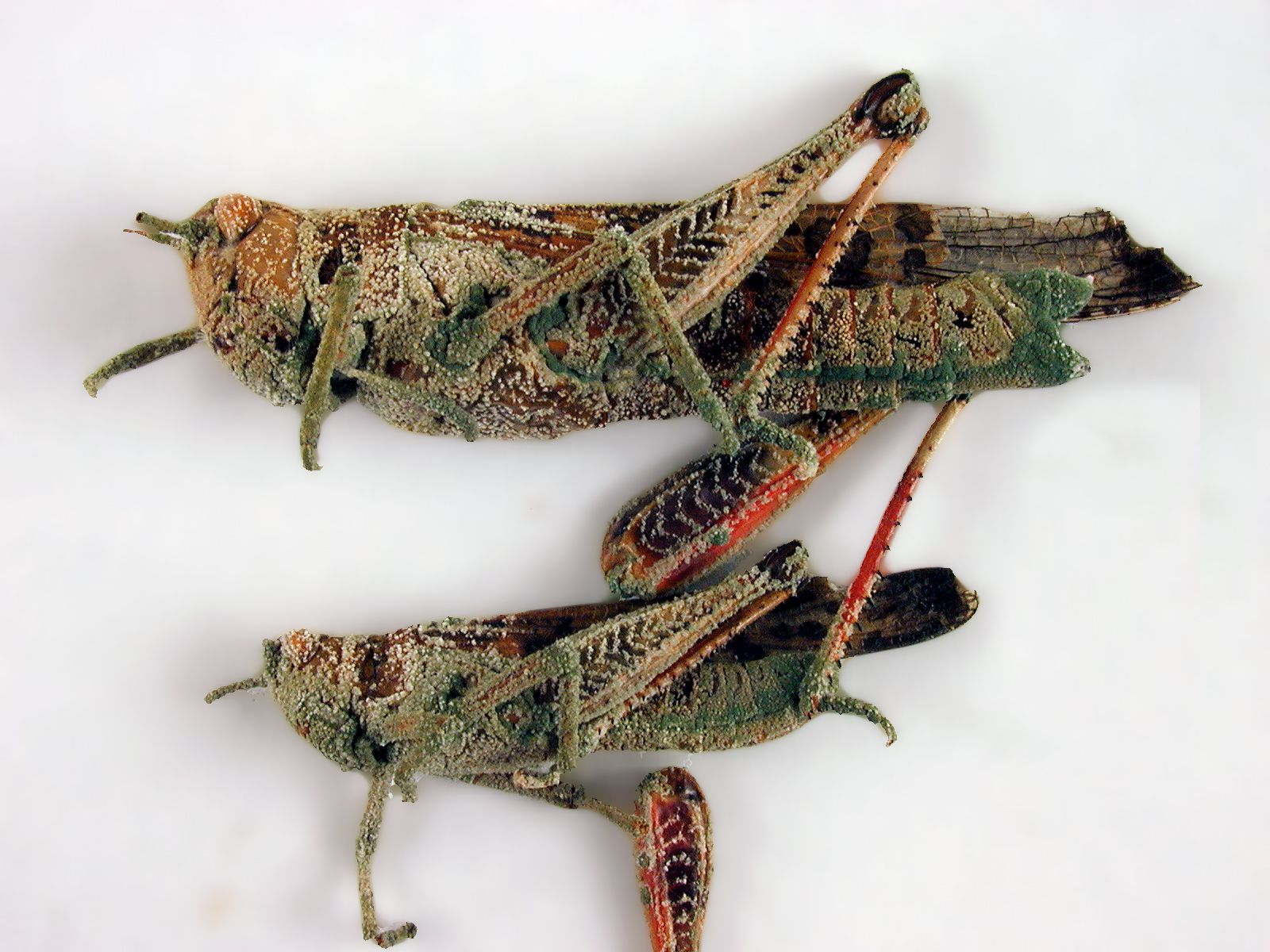 حيوانات المرسال Honey-locust-has-dar