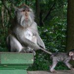 غابة القرود في جزيرة بالي