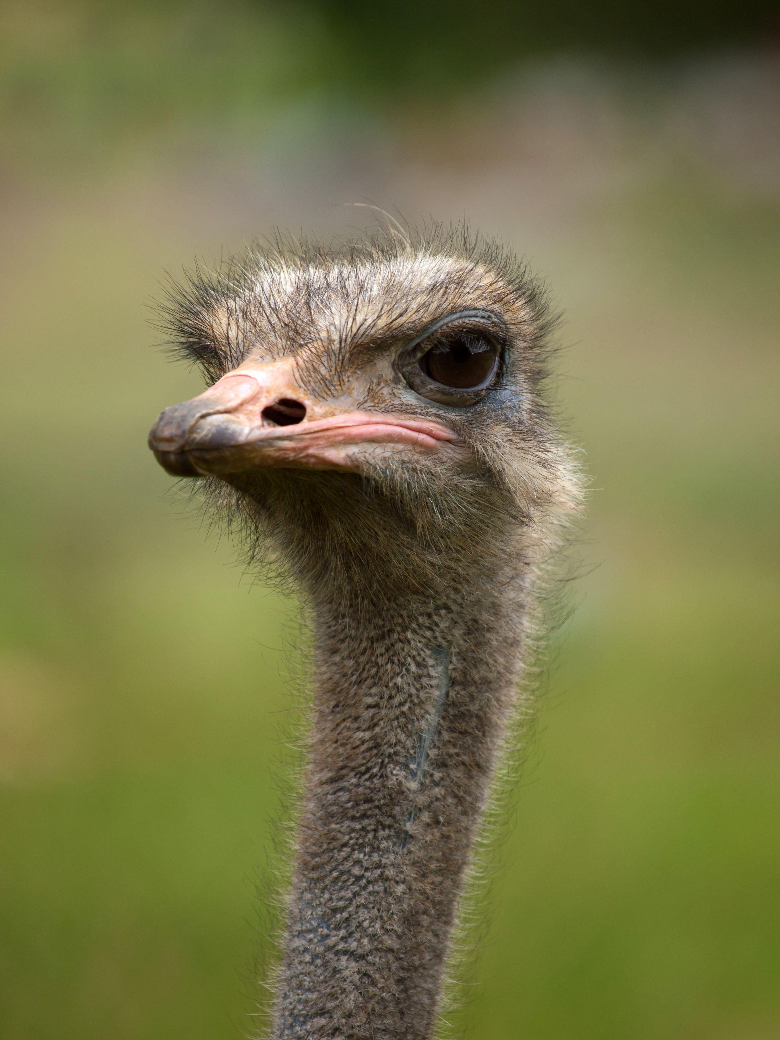 حيوانات المرسال Ostriches-are-large-