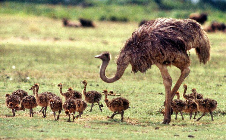 حيوانات المرسال Ostriches-are-the-bi
