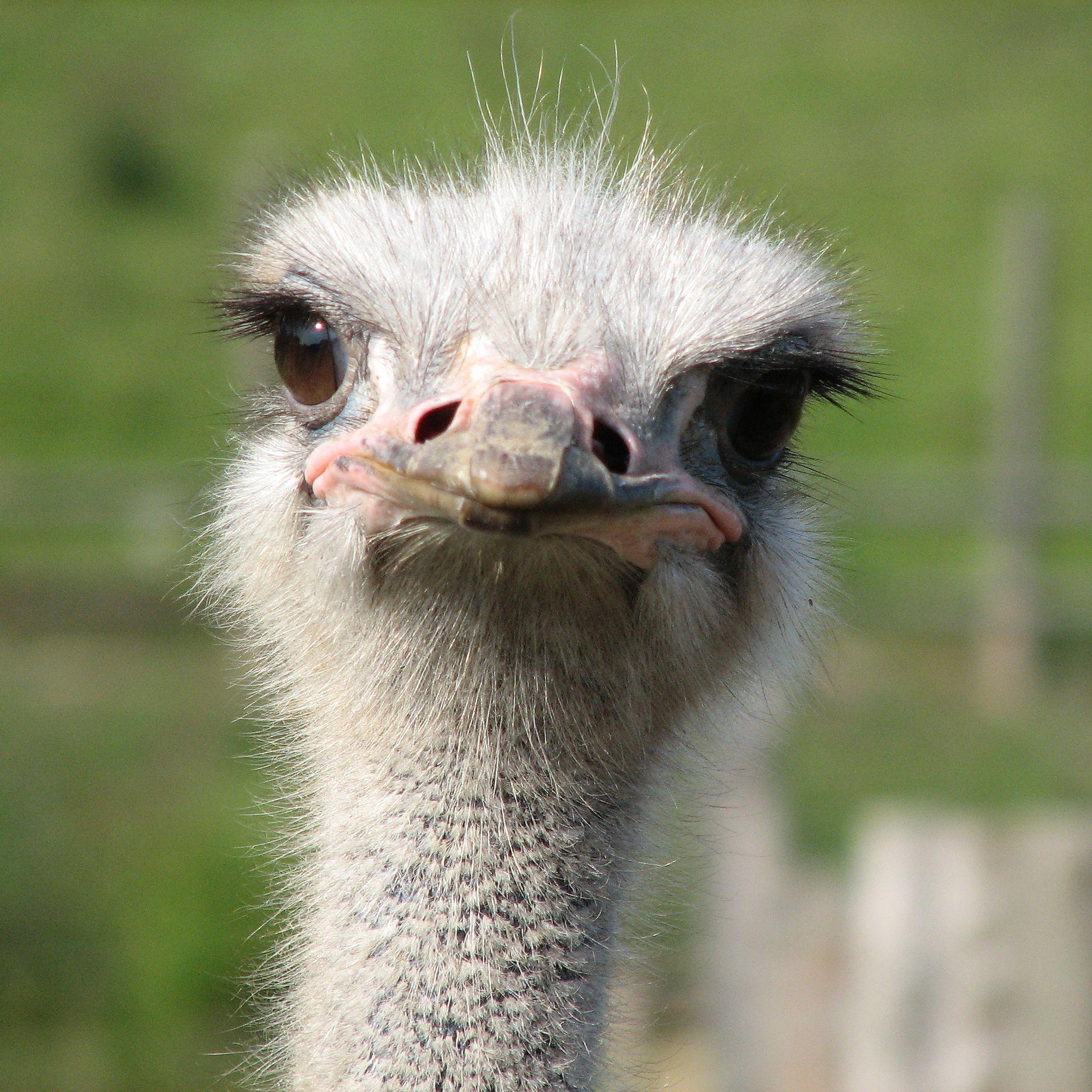 حيوانات المرسال Ostriches-dont-hide-