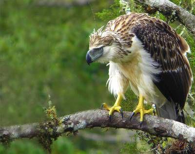 حيوانات المرسال Philippine-eagle-is-