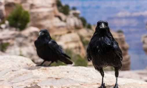 الغراب الأسحم Ravens.jpg