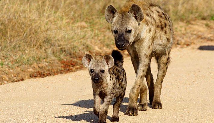 حيوانات المرسال The-hyena-is-a-carni