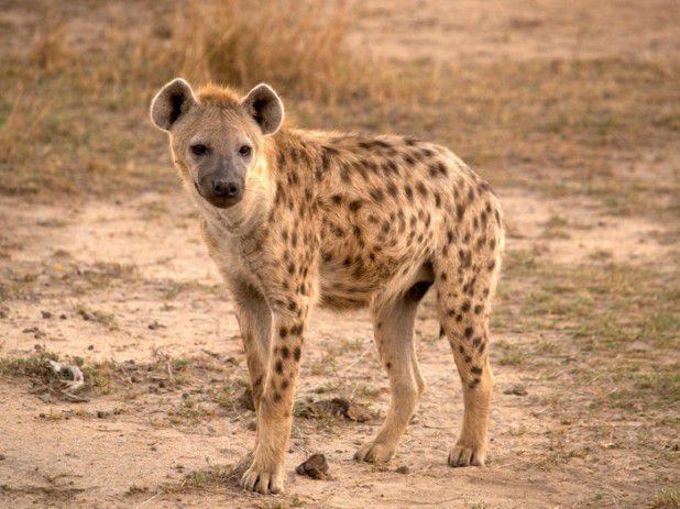 حيوانات المرسال The-striped-hyena-is