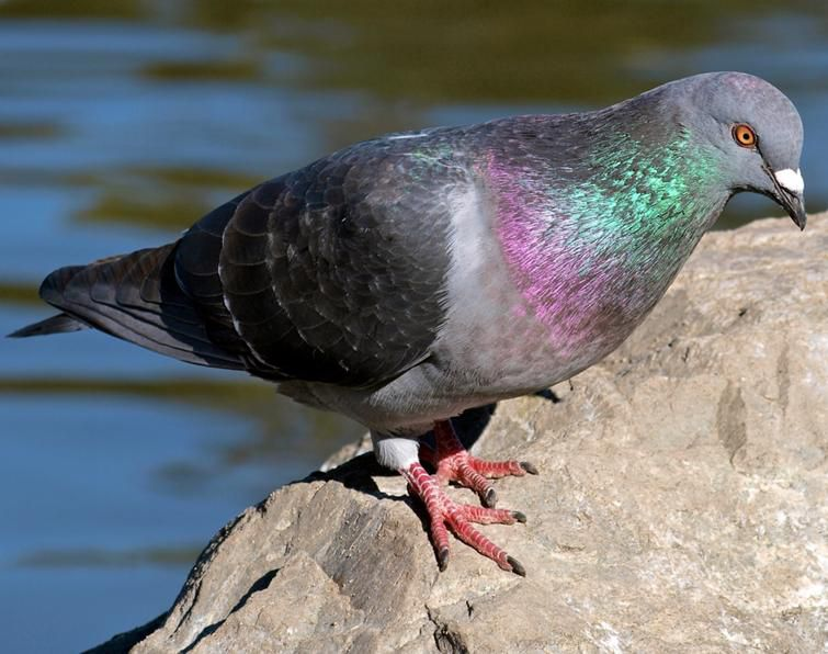 حيوانات المرسال Wood-pigeon-sound-ef