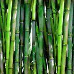 طريقة زراعة نبات ساق البامبو ( نبات الخيزران )