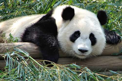 الباندا لم تعد مهددة بالانقراض
