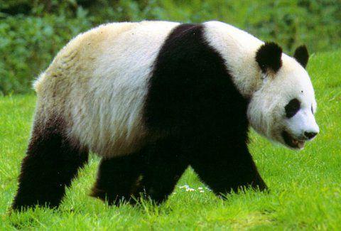 زيادة الباندا البالغة في الصين