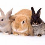 ماهو اسم صوت الأرنب
