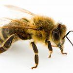 ماهو اسم صوت النحلة
